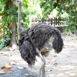 Portrait of ostrich — Stock Photo