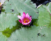 Pink lotus on the river — Stock Photo