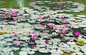 Lotus pond scenery — Stock Photo