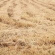 Rice straw filed — Stock Photo