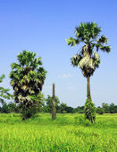 Sugar palm trees in the field ,Thailand — Stock Photo