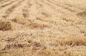 Rice straw filed — Stock Photo