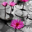 Stock Photo: Water lily lotus flower and leaves