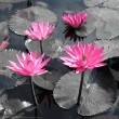 Water lily lotus flower and leaves — Stock Photo #26465867