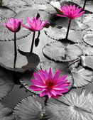 Water lily lotus flower and leaves — Stock Photo