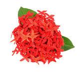 Ixora flower on white background — Stock Photo