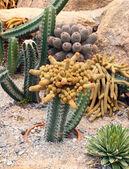 Cactus in Nong Nooch Tropical Botanical Garden, Pattaya, Thailan — Stock Photo