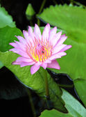 Blooming pink lotus with insect — Stock Photo