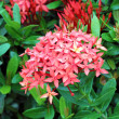 Jungle geranium (Ixora coccinea). Red color — Stock Photo