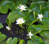 White lotus flower — Stock Photo