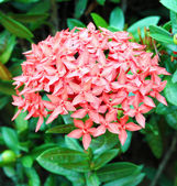 Jungle geranium (Ixora coccinea) — Stockfoto