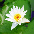 White lotus flower blooming — Stock Photo