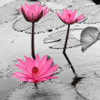 Stock Photo: Water lily lotus flower