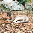 Royalty-Free Stock Photo: Kangaroo resting