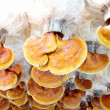 Lingzhi mushrooms - Stock Photo