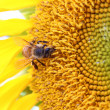 Stock Photo: Bee on sunflower