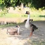 Domestic goose — Stock Photo #26634999