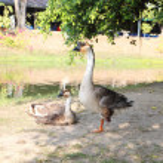 Domestic goose — Stock Photo #26635041