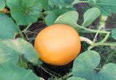 Closeup pumpkin with plants — Stock Photo