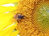 Biene auf Sonnenblume — Stockfoto