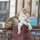 Female monkey on fence — Stock Photo