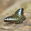 Clipper butterfly ( parthenos sylvia) resting — Stock Photo