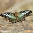 Clipper butterfly ( parthenos sylvia) resting — Stock Photo #26660341