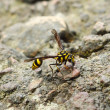 Stock Photo: Perfect wasp-mimic surphid fly (Syrphidae)
