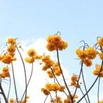 Cochlospermum regium — Stock Photo