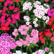 Flowerbed of Dianthus barbatus — Stock Photo #26667565