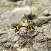 A perfect wasp-mimic surphid fly (Syrphidae) — Stock Photo