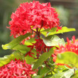 Jungle geranium (Ixora coccinea) Red color - Stock Photo