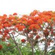 Peacock flower (Pride of Barbados) — Stockfoto