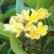 Stock Photo: Frangipani flower or Leelawadee flower on tree