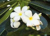 Vita och gula frangipani blommor — Stockfoto