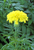 Mary gold, Yellow flower in garden — Stock Photo