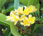 Leelawadee fiore sull'albero o fiore di frangipane — Foto Stock