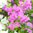 Pink and white bougainvillaea is blooming — Stock Photo