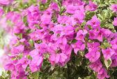Różowy bougainvillaea jest w pełnym rozkwicie — Zdjęcie stockowe