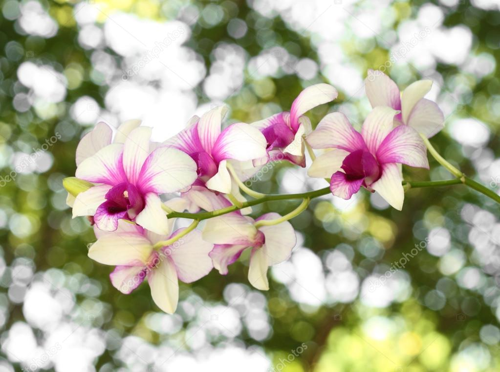 Purple And White Orchid Flowers Beautiful Purple White Orchid Flower With Bokeh Background