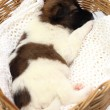 Little puppy sleeping in basket — Stock Photo