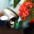 Mail great mormon butterfly perching on red ixora flower — Stock Photo #29130323