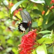 Mail great mormon butterfly perching on red ixora flower — Stock Photo #29139397