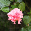 Stock Photo: Pink hibiscus flower