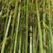 Green bamboo tree texture — Stock Photo