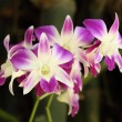 Beautiful purple orchid plant — Stock Photo