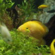 Zebrasomflavescens in aquarium — Foto Stock #31148463