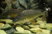 Bosesmania microlepis fish — Stock Photo
