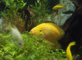 Zebrasoma flavescens in aquarium — Foto Stock