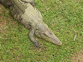 Crocodile resting — Stock Photo